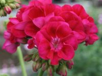 PELARGONIUM ZONALE FLOWER FAIRY