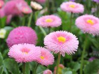 Divgadīgās puķes